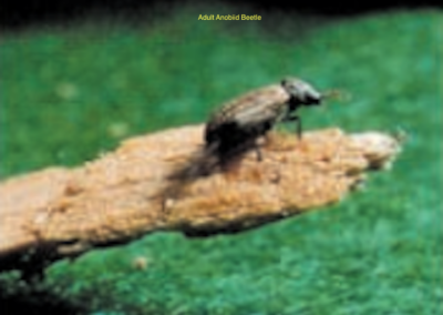 Anobiid Beetle