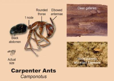 carpanter-ants
