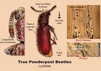 true-powderpost-beetles